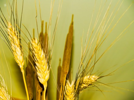 Wheat and reeds, still life.