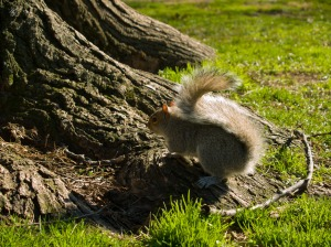 A squirrel near the roots of a tree, downtown Washington, DC, USA.