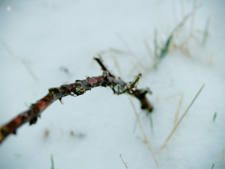 Frozen twig encased in ice. Somewhere in a patch of nature, McLean, VA, USA.