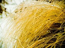 Candied wheatgrass