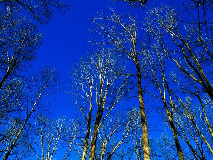 In the forest, winter, looking upward. Cabin John Regional Park, MD, USA.
