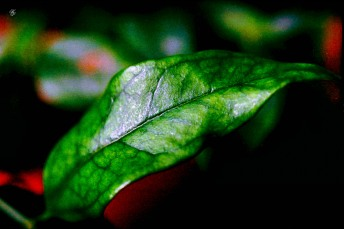 Macro, texture of a waxy green leaf. 35mm film, Exakta EXA Ia.