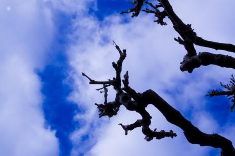 Bare branches pointing toward the sky. National Arboretum, Washington, DC, USA.