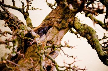 Bonsai tree, National Arboretum, Washington, DC, USA.