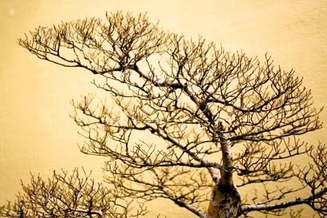 Bonsai tree, bare, National Arboretum, Washington, DC, USA.
