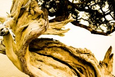 Bonsai tree, dry and twisted, National Arboretum, Washington, DC, USA.