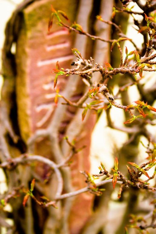 Bonsai tree, stone tablet, National Arboretum, Washington, DC, USA.
