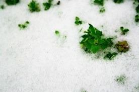 Mint buried in snow, National Arboretum, Washington, DC, USA.