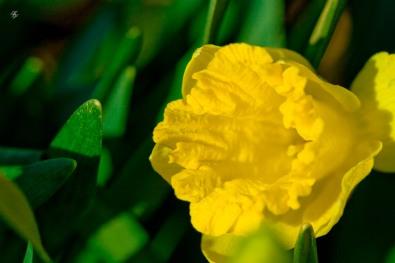 Golden daffodils, early spring, Grosvenor Park, North Bethesda, MD, USA.