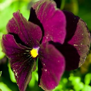 A deep burgundy pansy, spring, Grosvenor Park, North Bethesda, MD, USA.