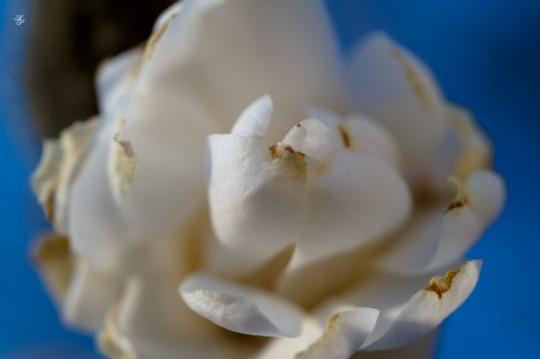 White magnolia blossoms, early spring, Grosvenor Park, North Bethesda, MD, USA.