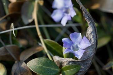 Little violets