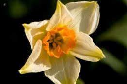 White daffodils, early spring, Grosvenor Park, North Bethesda, MD, USA.