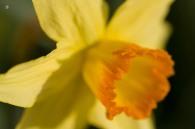 A gorgeous daffodil in warm sunshine.