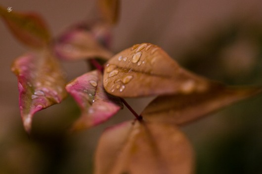 Thick, pointed brown leaves covered in raindrops, macro.