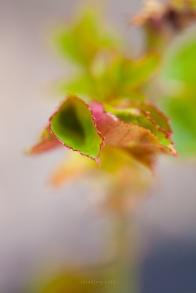 Rose leaves