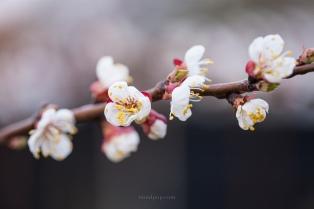 Apricot blossoms