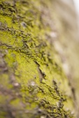 Tiny moss on sour cherry bark