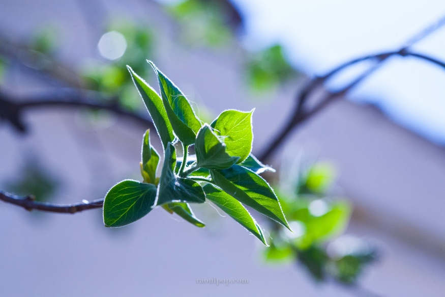 Lilac leaves