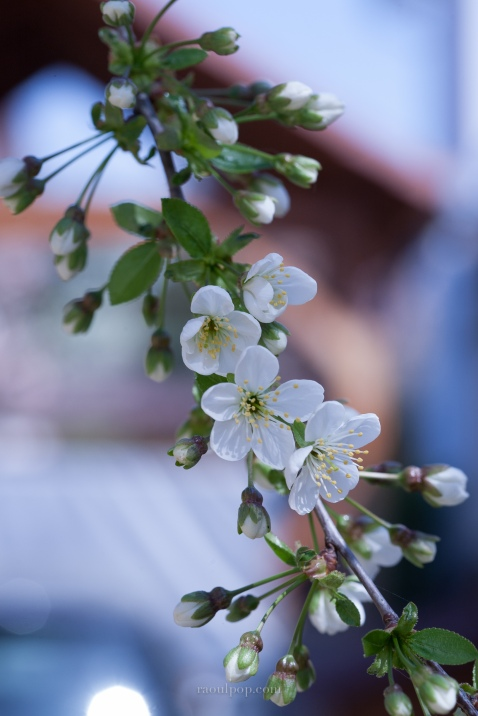 Sour cherry blossoms