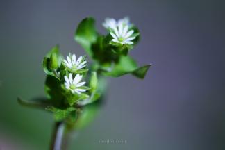 Tiny white flowers