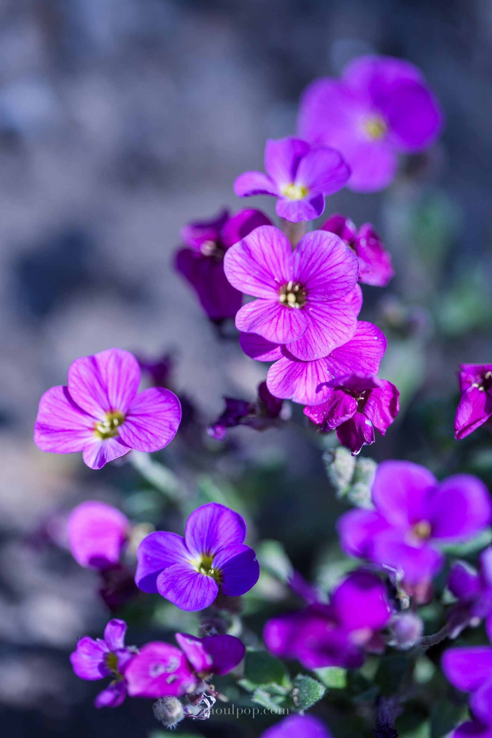 Little purple flowers raoul pop little purple flowers mightylinksfo