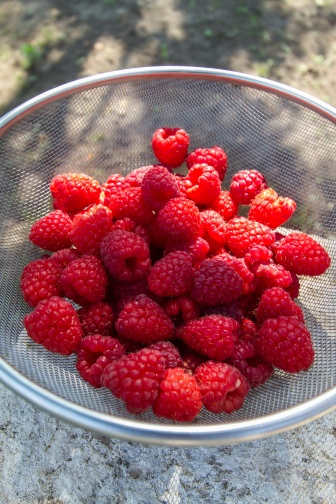 It's raspberry season