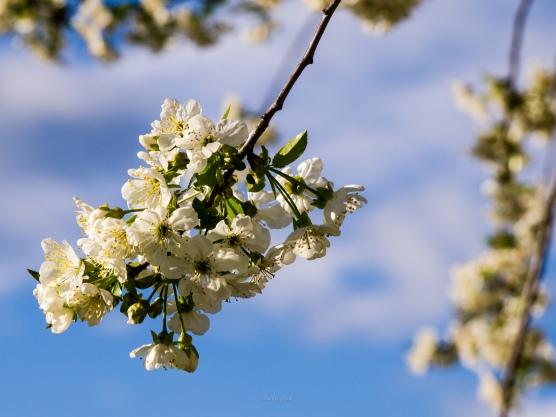 Sour cherry blossoms