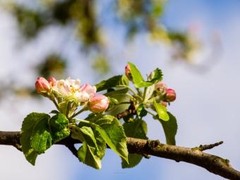 Apple blossoms