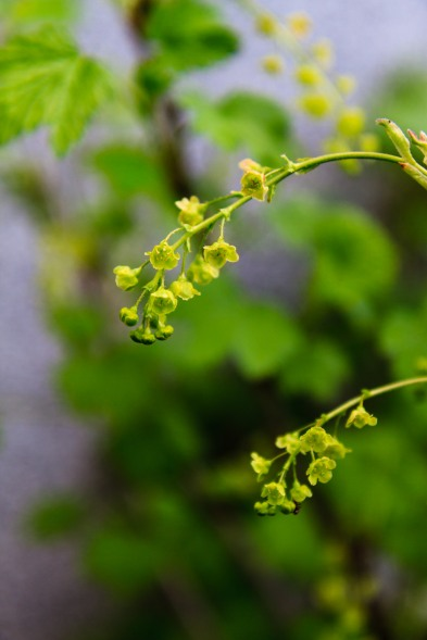 Currant flowers