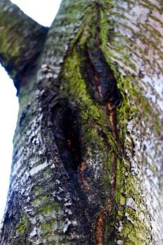 Sour cherry trunk