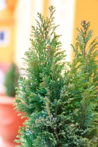 Decorative pine