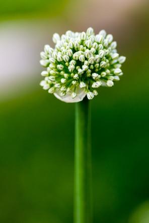 Onion flowers