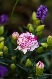 Magenta-tinged carnation