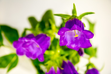 Bell-shaped flowers