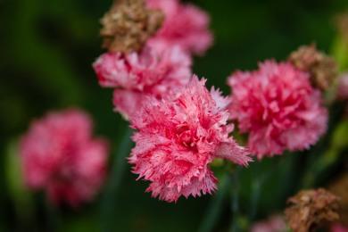 Lovely carnations