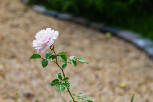 Long-stem rose