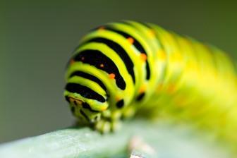 Larva