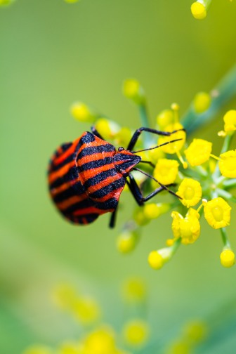 Striped shieldbug