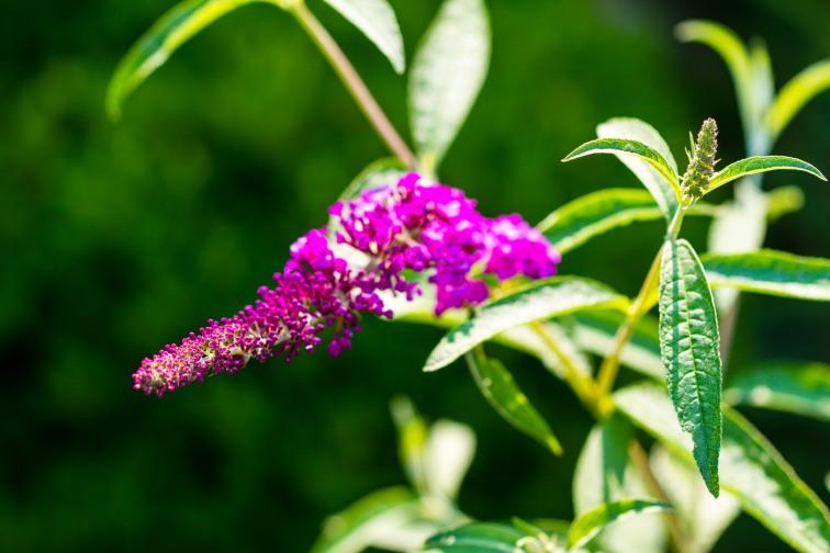 Summer lilac