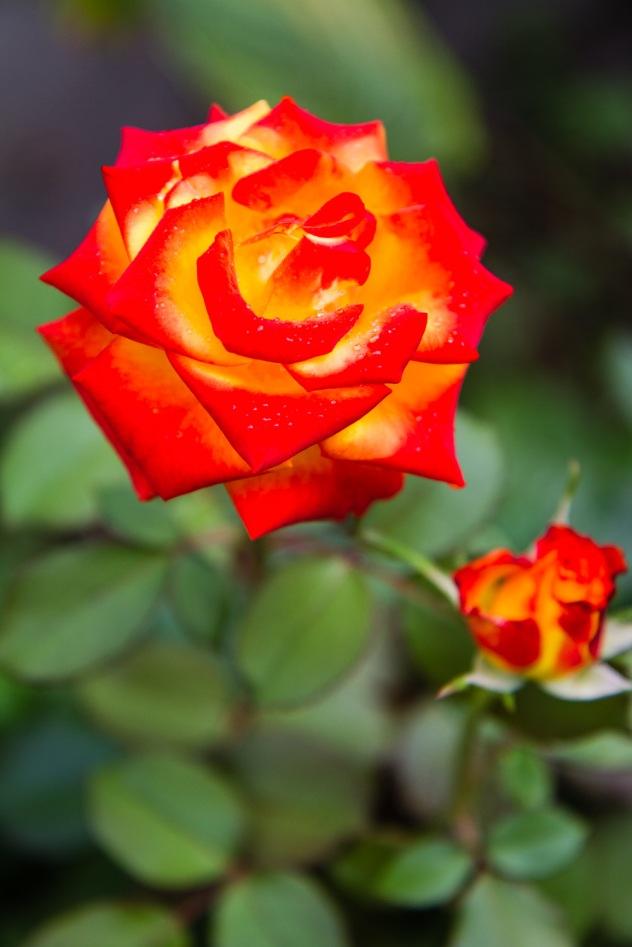 Orange-gold rose