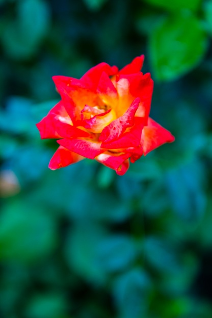 Red and gold rose