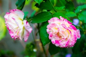 Dappled pink rose