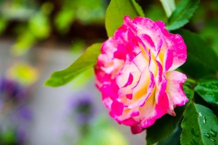 Pink-white rose