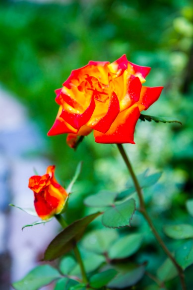 Orange-gold rose