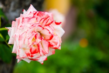 Red-tinged rose