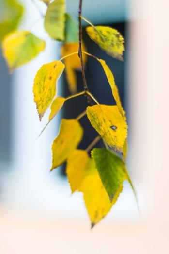 White birch leaves