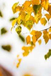 Tiny yellow birch leaves