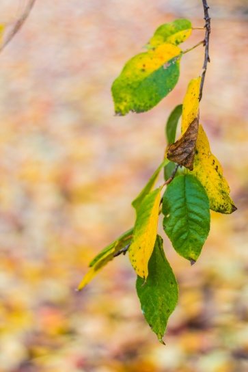 Sour cherry leaves
