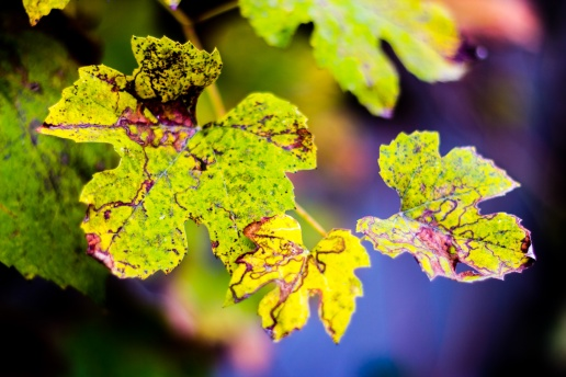 Three grape leaves that tell a story